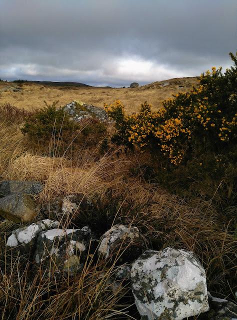 gorse blossoming, Connemara landscape