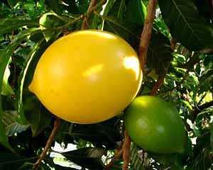 A fruta abiu e seus benefícios