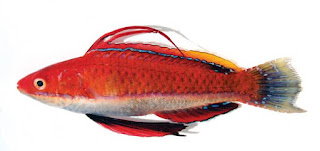 Two new species of Wrasses