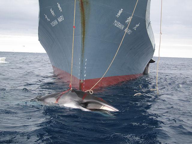 chasse-baleine-japon-adoxa