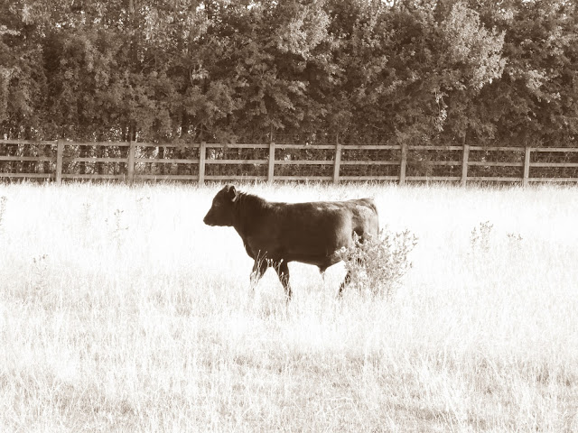 Young bullock trotting through field in front of fence and trees.