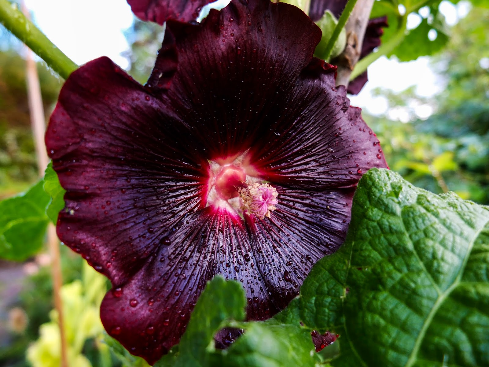 A close up of a dark purple Hollyhock flower on a stem.