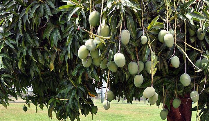 mango-tree-amroha