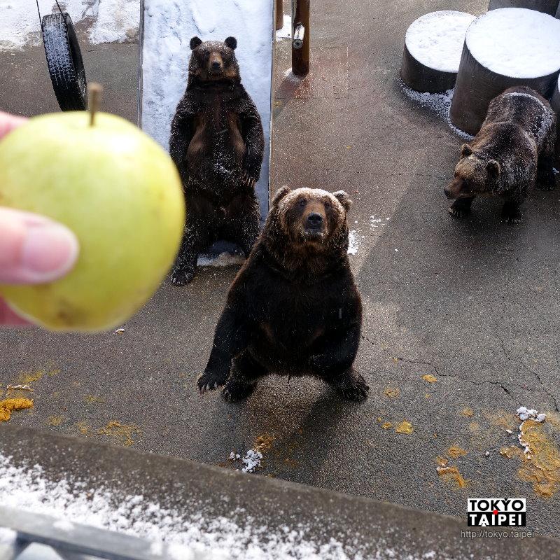 【昭和新山熊牧場】棕熊萌萌乞食 可以丟蘋果和餅乾給熊吃