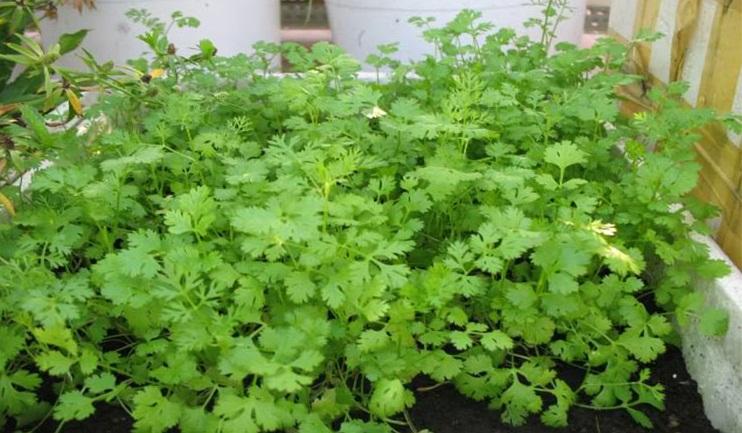 Cách trồng các loại rau gia vị tại nhà đơn giản thuận tiện
