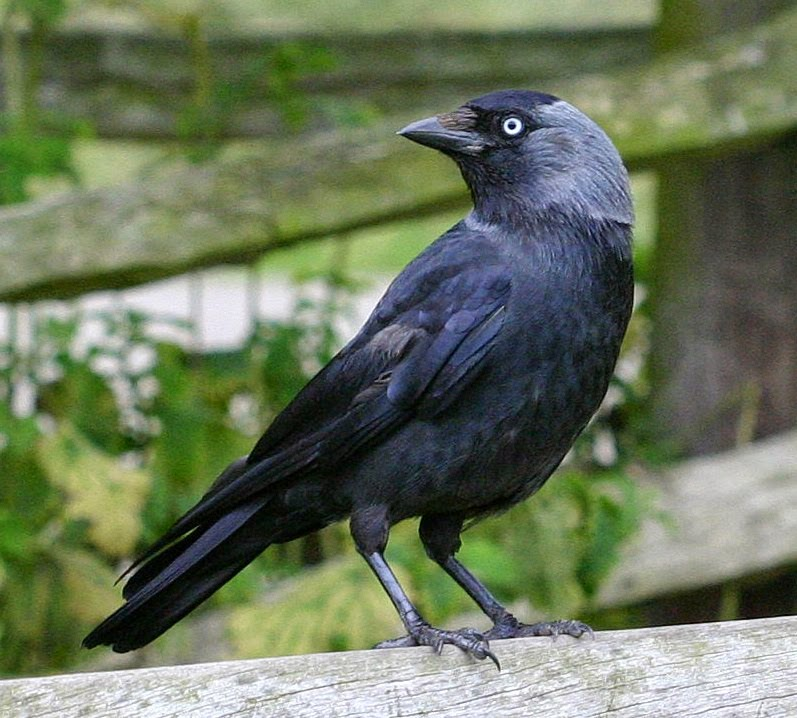 The Jackdaw