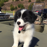 teething border collie puppy