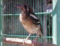 Bahan Trotolan Burung Anis Kembang Belum Pasti Jantan Dan Betina