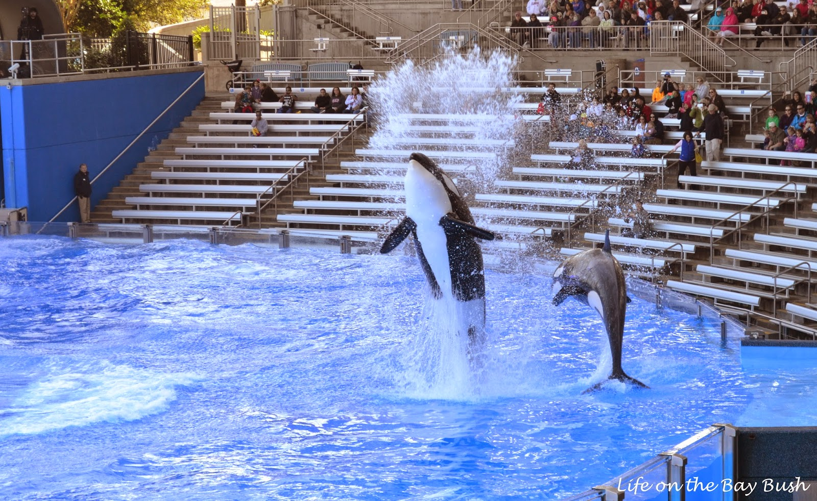 Killer whales at Seaworld Orlando