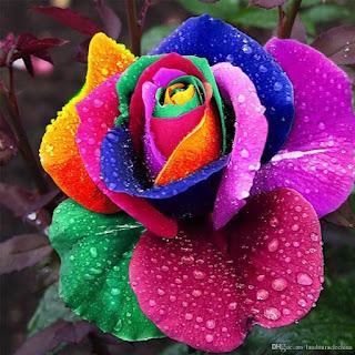 benih-mystic-rainbow-rose.jpg