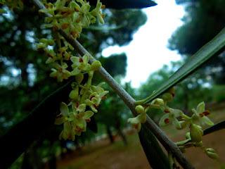 Fiori di ulivo campagna ramo all'aperto giorno