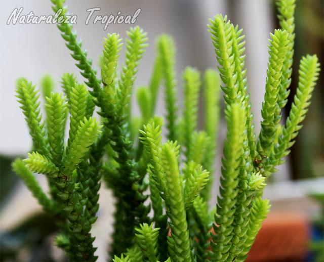 Crassula mucosa reproduccion asexual de las plantas