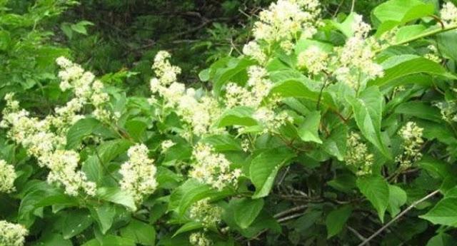 κινέζικο φυτό που εξαφανίζει τον καρκίνο