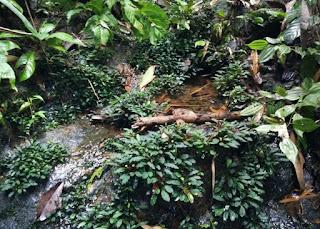 Mencari Tanaman Aquascape di Sungai atau di Alam Liar