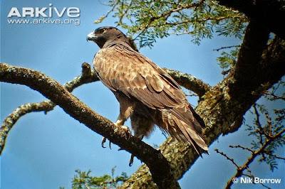 Águila azor de Ayres Hieraaetus ayresii