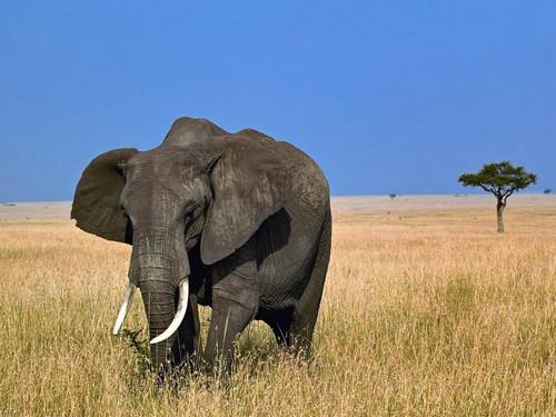 1. Gajah Afrika