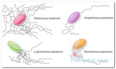 Flagellar arrangement. The four basic types of flagellar arrangement on bacteria: peritrichous, flagella all over the surface; lophotrichous, a tuft of flagella at one end; amphitrichous, one or more flagella at each end; monotrichous, one flagellum.