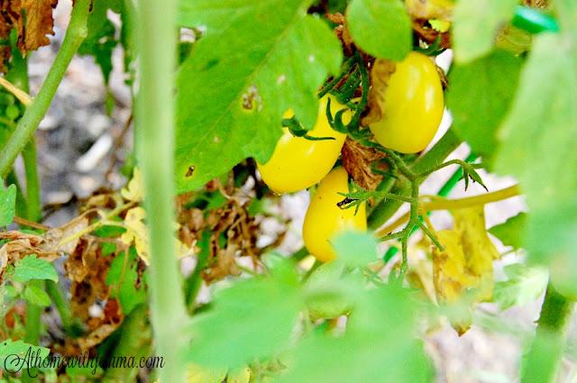 tomatoes-jemma-gardening-tips