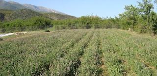 Αυτό είναι το βότανο της αθανασίας . Υπάρχει παντού στην Ελλάδα