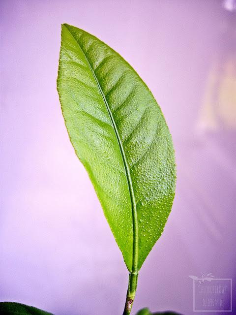 Cytryna (Citrus limon) z nasion, po roku uprawy w doniczce. Wzrost - wysokość, pokrój, liście, łodyżka. Olejek lotny, ząbkowane brzegi liści.
