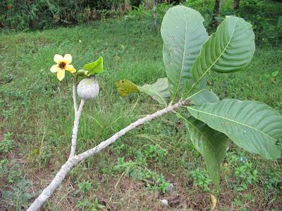 Yaguaratiá Genipa americana