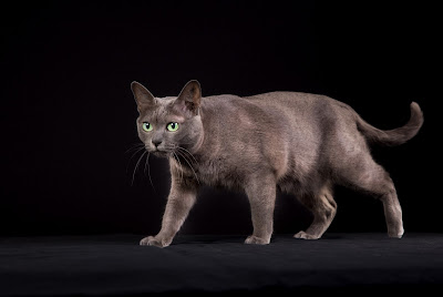 Korat cat photo by Mikkel Bigandt, via Adobe Stock