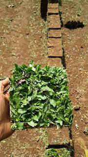 Harga jual Rumput taman gajah mini di Sengkaling malang dari lapak kita