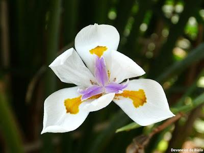 Orquídea De Hortus - Jardim Botânico de Amsterdam