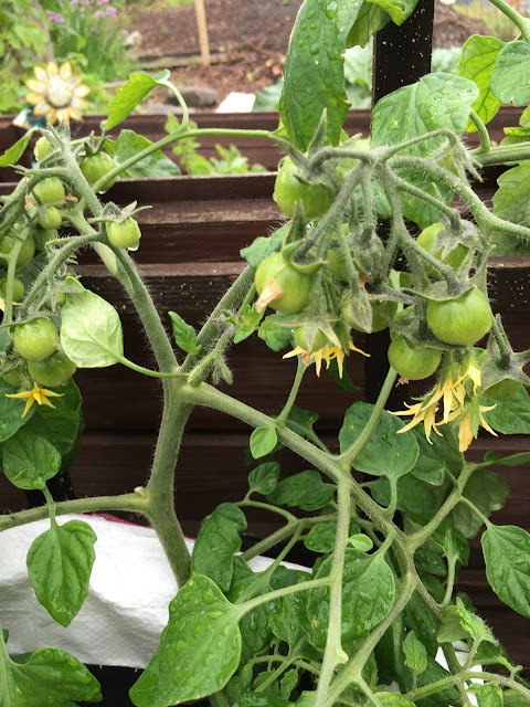 tomaatin kasvatus säkissä