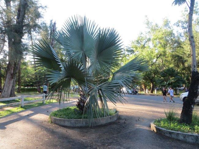 парк в краби таун большая пальма