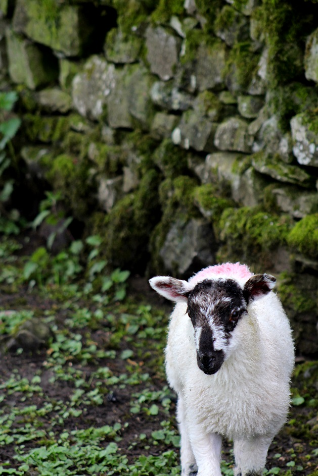 They Called It The Diamond Blog: The Lake District, Lambs a