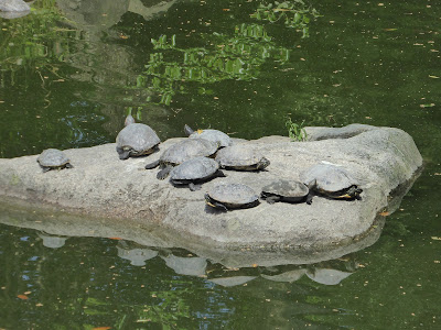京都御苑 九條池 亀