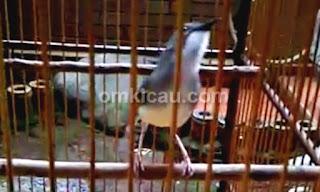 Burung Ciblek - Perawatan ciblek jawara ala Om Alriansyah (Mencetak Burung Ciblek Jawara) - Penangkaran Burung Ciblek