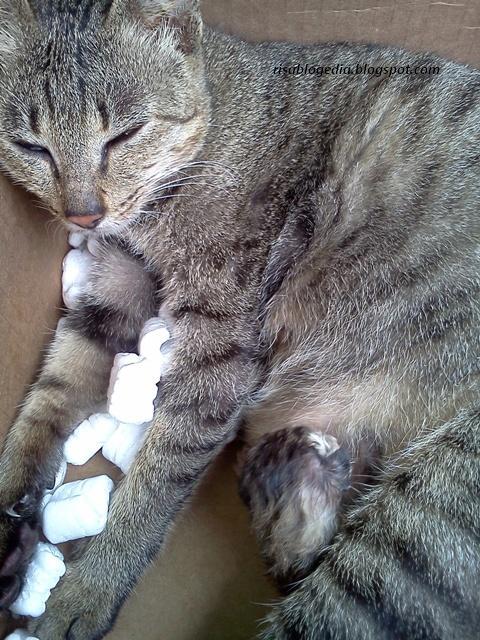 Perilaku Kucing Setelah Melahirkan : perilaku, kucing, setelah, melahirkan, Risablogedia:, Proses, Kelahiran, Kucing, Risablogedia
