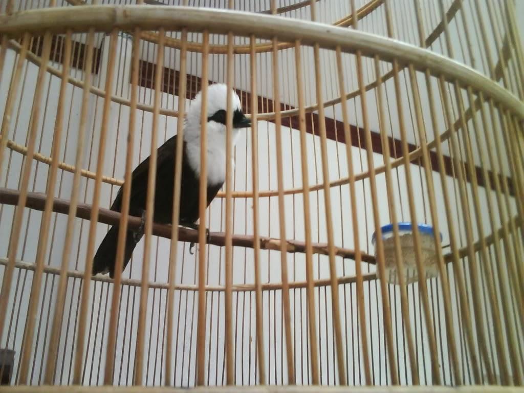 Harga Burung Update 2013 Kereta Singapore Harga Below Market Value Murah Geran Om Hoby Harga Burung Poksai Daftar Harga Burung Jalak 2013 View