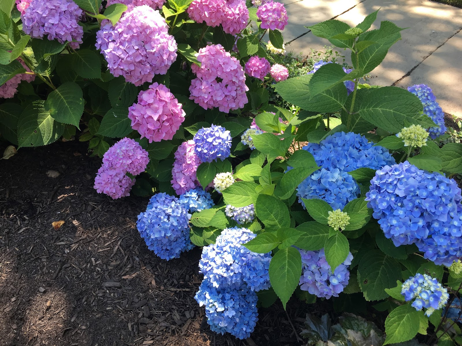 Beautiful home gardens with hydrangeas