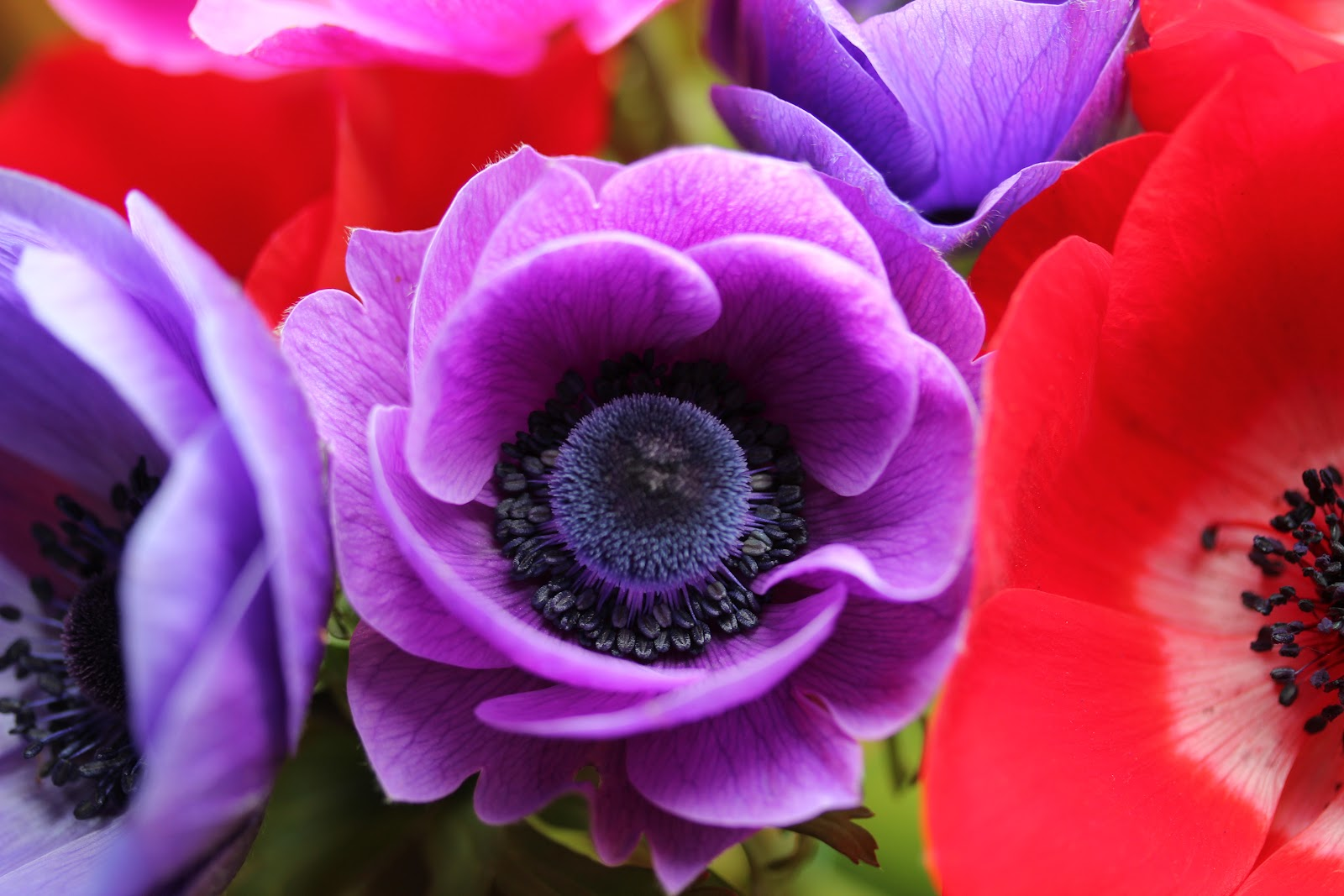 anemone coronaria 39 de caen 39 group but don 39 t be fooled by the boring name wild acre. Black Bedroom Furniture Sets. Home Design Ideas