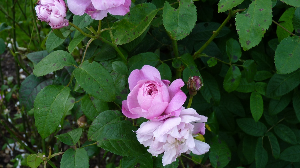 smukke billeder af roser