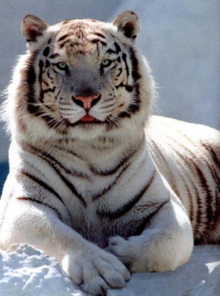 Siberian Tigers Facts Amp Pictures Animals Blog