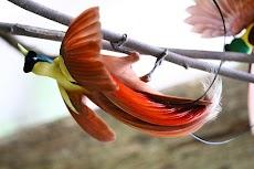 Jenis Burung Cendrawasih dan Fakta Tentang Burung Cendrawasih di Indonesia