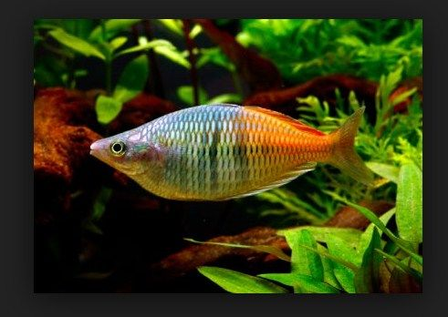 Jenis iakn Rainbow aquarium