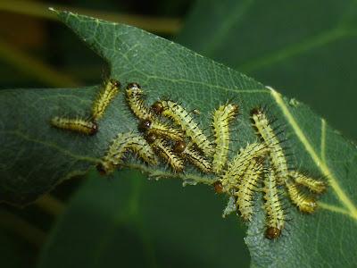Automeris liberia caterpillar