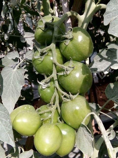 Tanaman Tomat Tumbuh Subur Berbuah Lebat Karena Terbebas dari Gulma