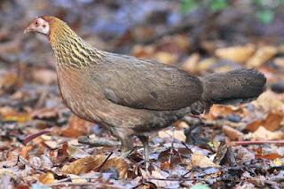Ternak ayam hutan merah