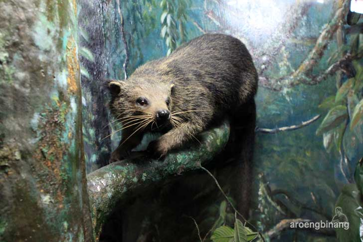 binturung museum zoologi bogor