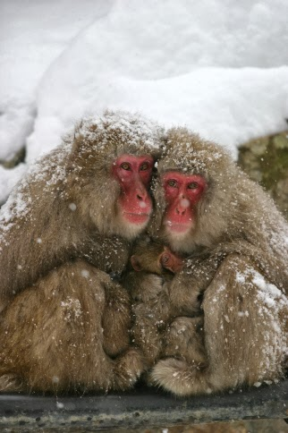 Japanese Snow Monkeys Bathing in Hot Springs 6