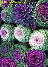 Purple Kale Flowers