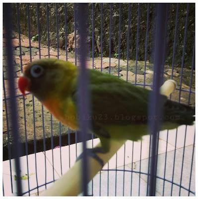 Dari sebuah kondisi dimana burung mengalami penurunan berat tubuh secara drastis sanggup dika Perawatan dan Pengobatan Burung Lovebrid Nyilet