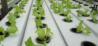 tanaman selada hidroponik