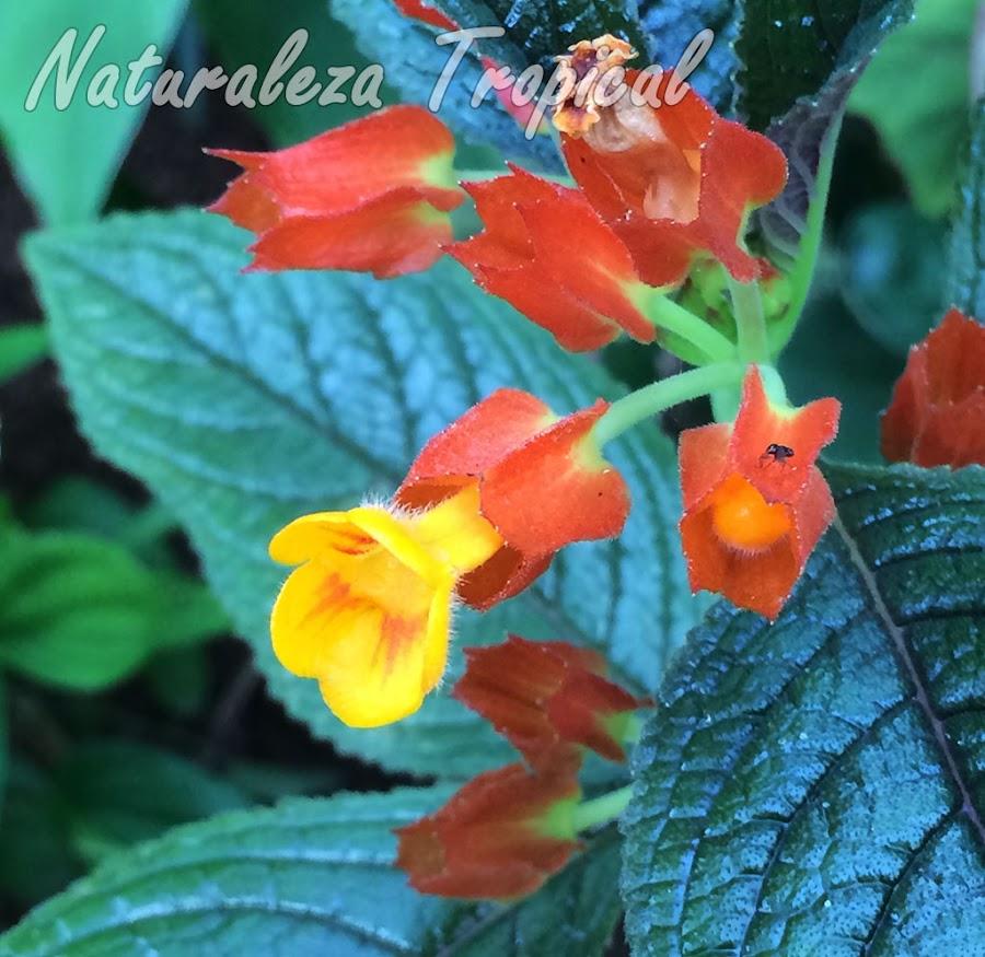 Detalle de la flor de la planta ornamental Chrysothemis pulchella